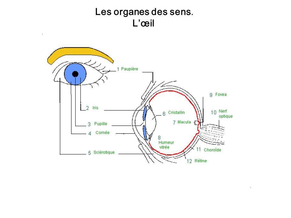 Les organes des sens. L'œil