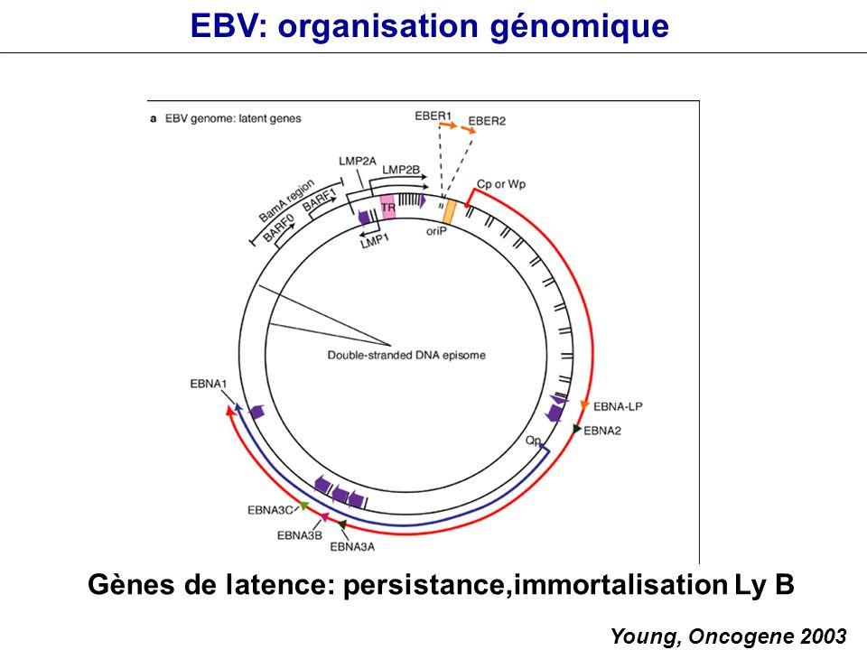 EBV: organisation génomique