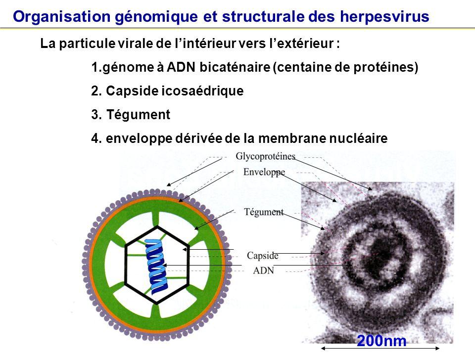 Organisation génomique et structurale des herpesvirus