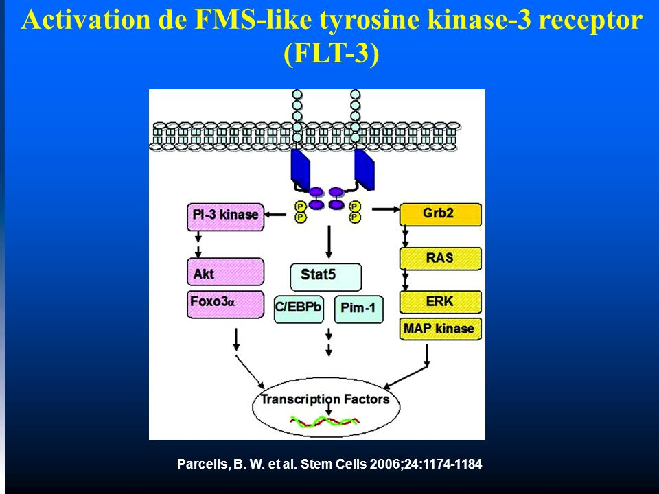 Activation de FMS-like tyrosine kinase-3 receptor (FLT-3)