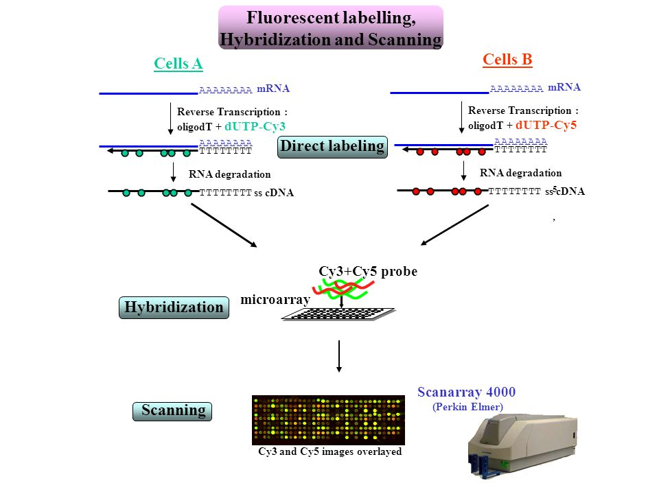 Fluorescent labelling, Hybridization and Scanning
