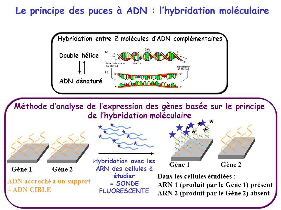 Le principe des puces à ADN : l'hybridation moléculaire