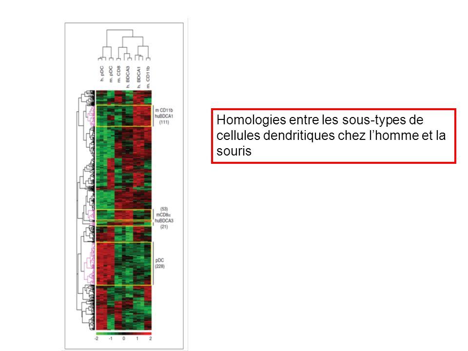 Homologies entre les sous-types de cellules dendritiques chez l'homme et la souris