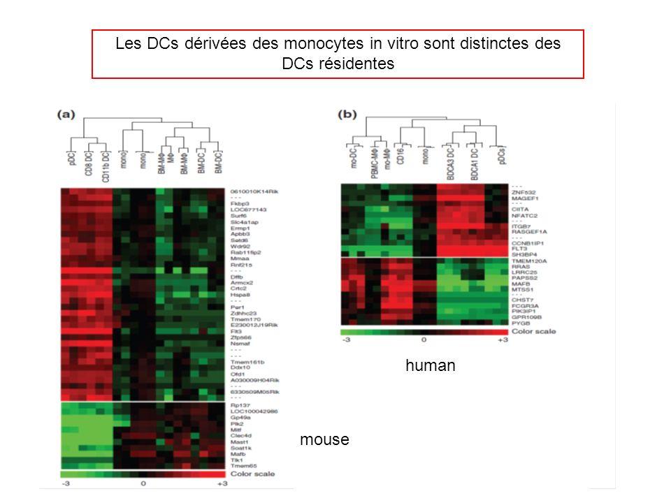 Les DCs dérivées des monocytes in vitro sont distinctes des DCs résidentes