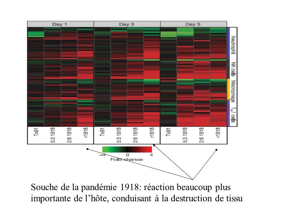 Souche de la pandémie 1918: réaction beaucoup plus importante de l'hôte, conduisant à la destruction de tissu
