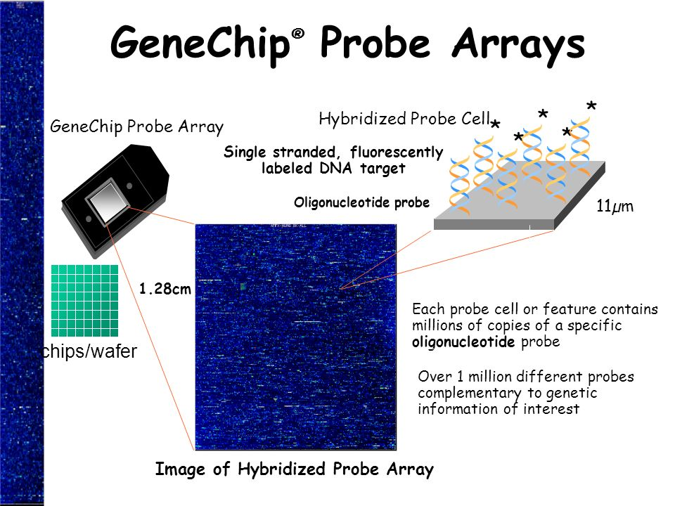 GeneChip® Probe Arrays
