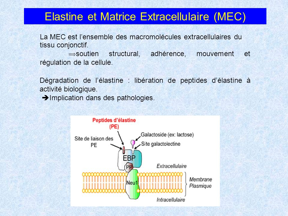 Elastine et Matrice Extracellulaire (MEC)