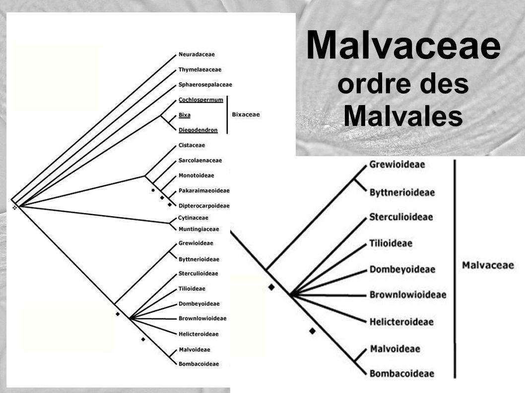 Malvaceaeordre des Malvales