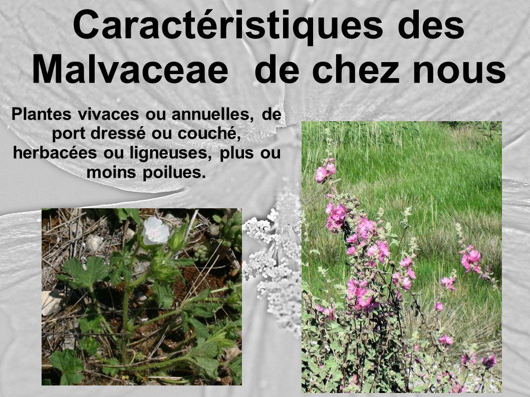 Caractéristiques des Malvaceae de chez nous