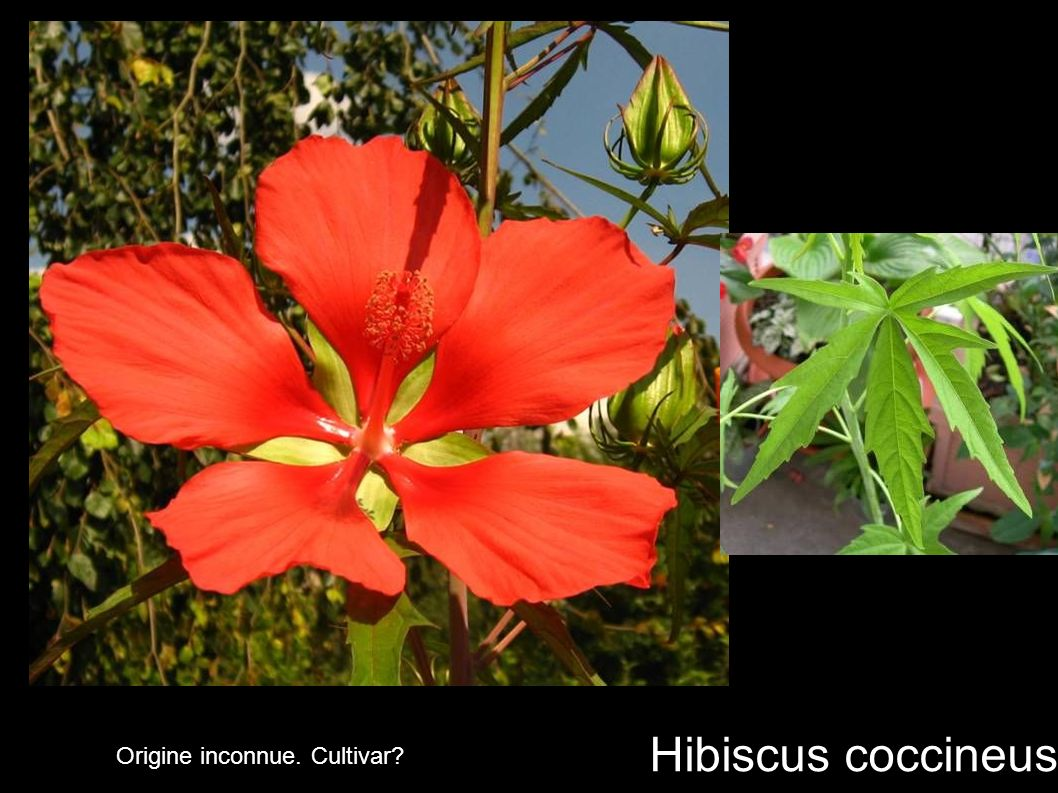 Hibiscus coccineus Origine inconnue. Cultivar