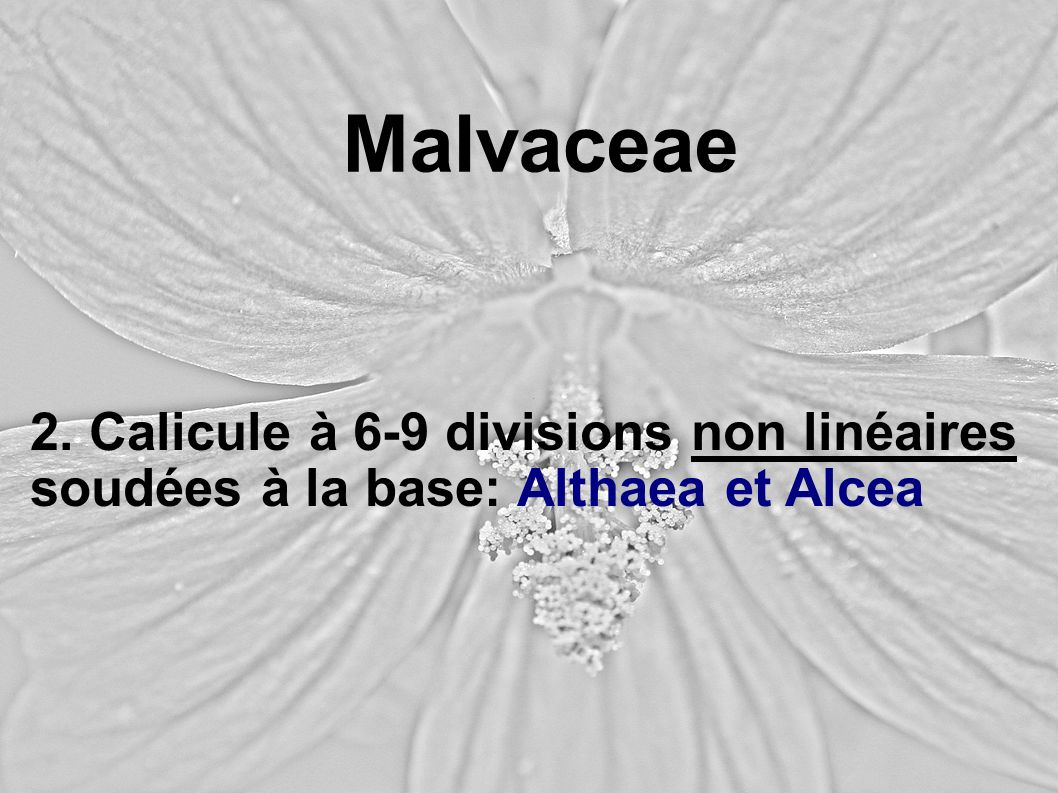 Malvaceae 2. Calicule à 6-9 divisions non linéaires soudées à la base: Althaea et Alcea