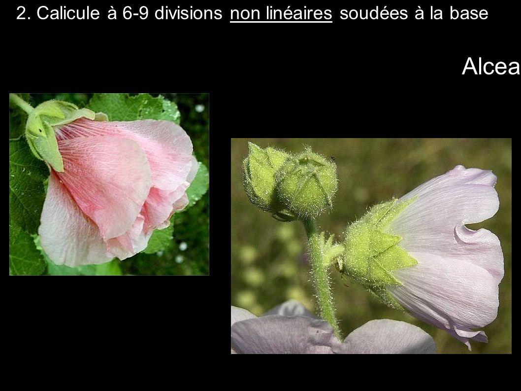 2. Calicule à 6-9 divisions non linéaires soudées à la base