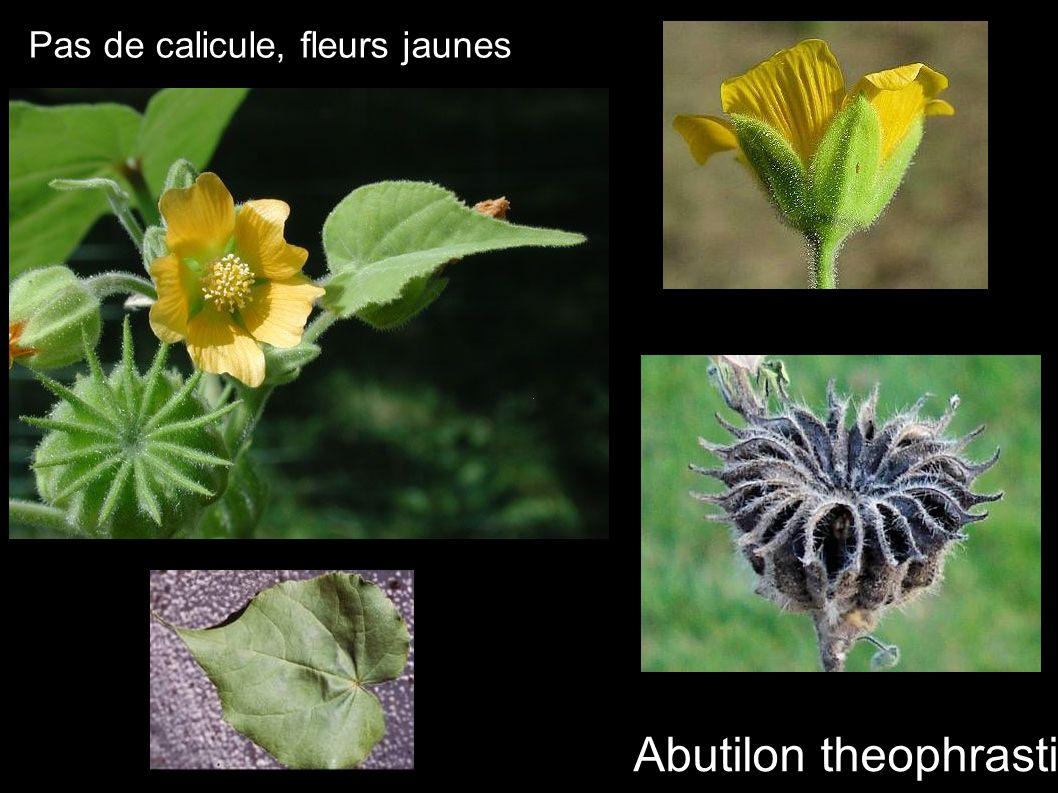 Pas de calicule, fleurs jaunes