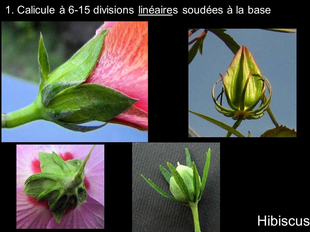 1. Calicule à 6-15 divisions linéaires soudées à la base