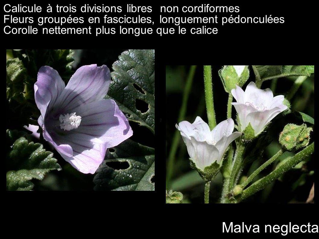 Malva neglecta Calicule à trois divisions libres non cordiformes
