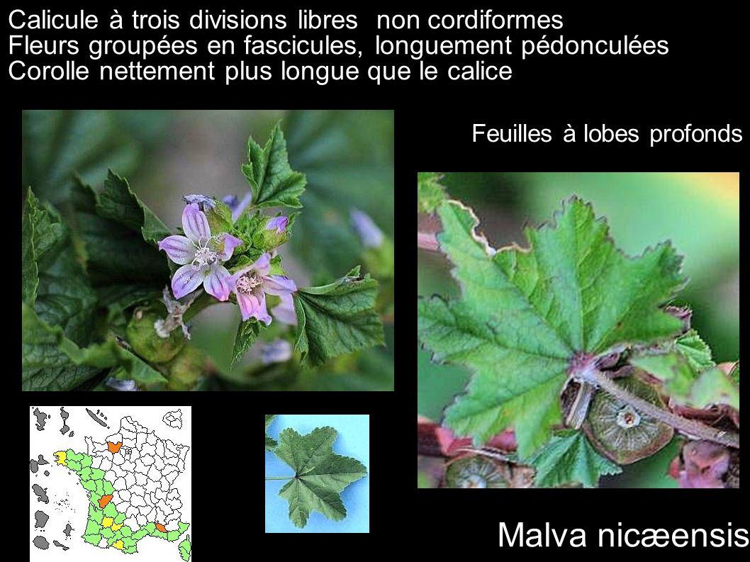 Malva nicæensis Calicule à trois divisions libres non cordiformes
