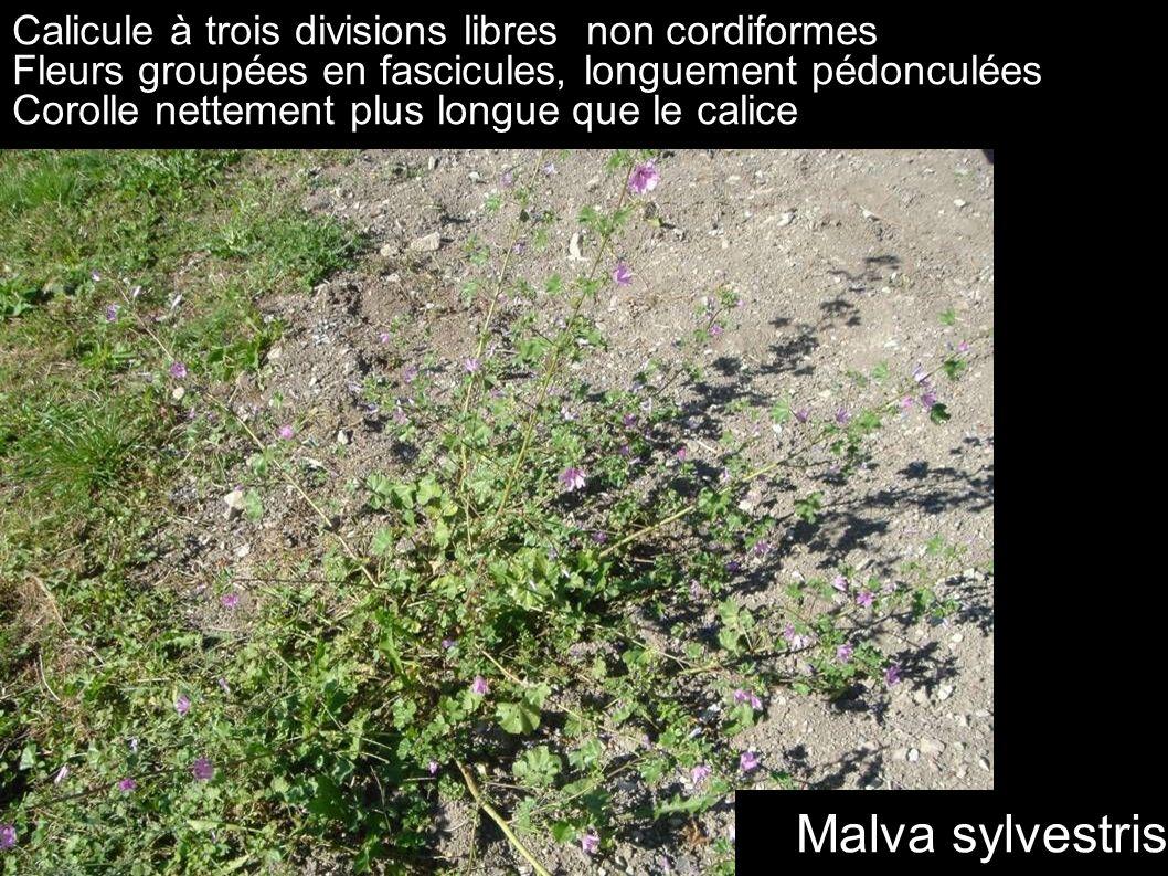 Malva sylvestris Calicule à trois divisions libres non cordiformes