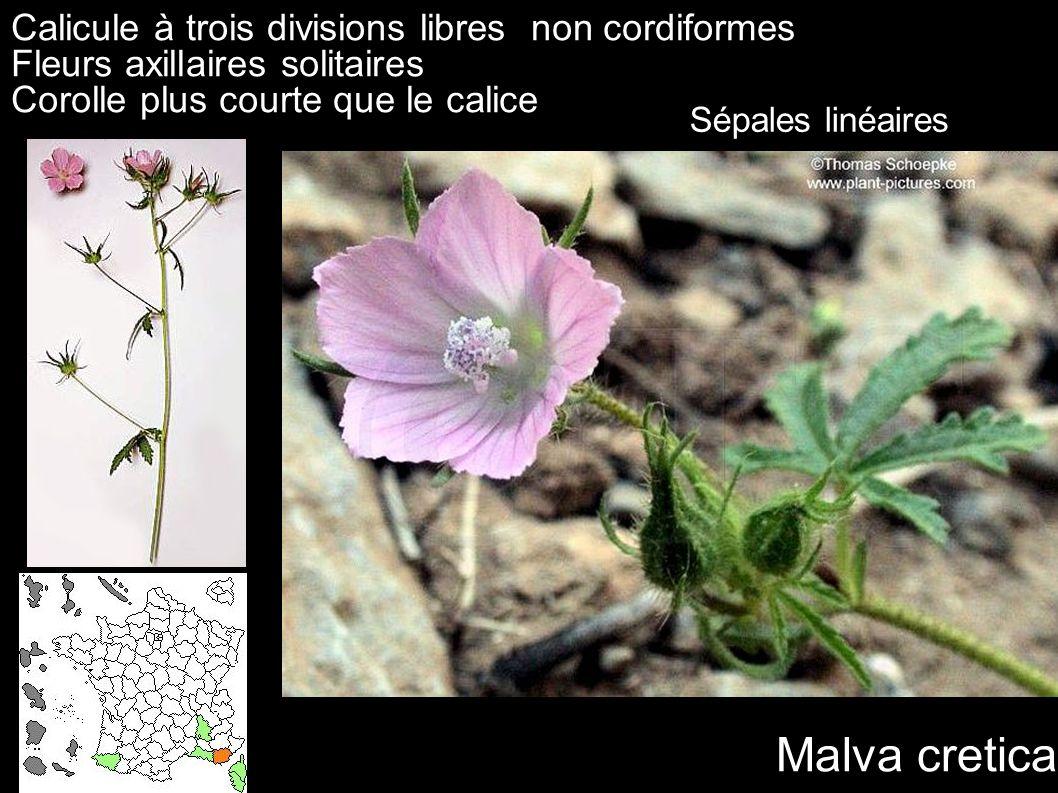 Malva cretica Calicule à trois divisions libres non cordiformes