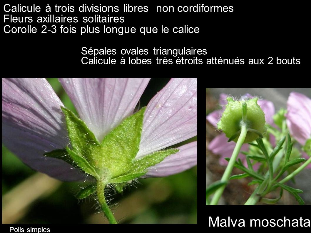 Malva moschata Calicule à trois divisions libres non cordiformes