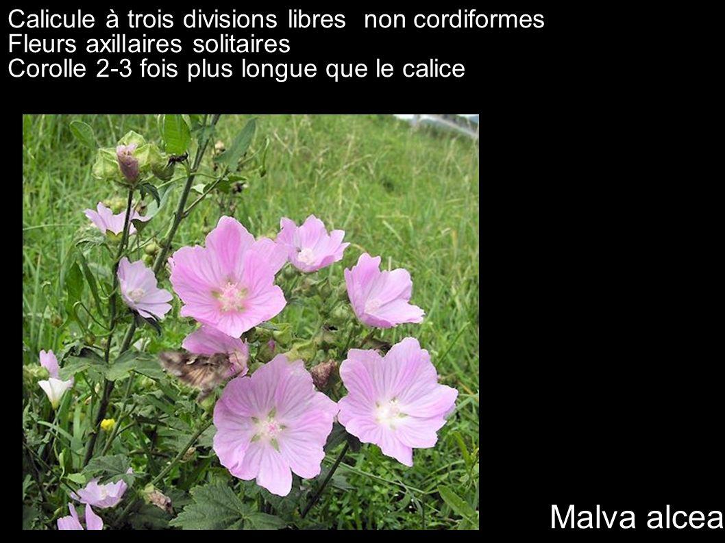 Malva alcea Calicule à trois divisions libres non cordiformes