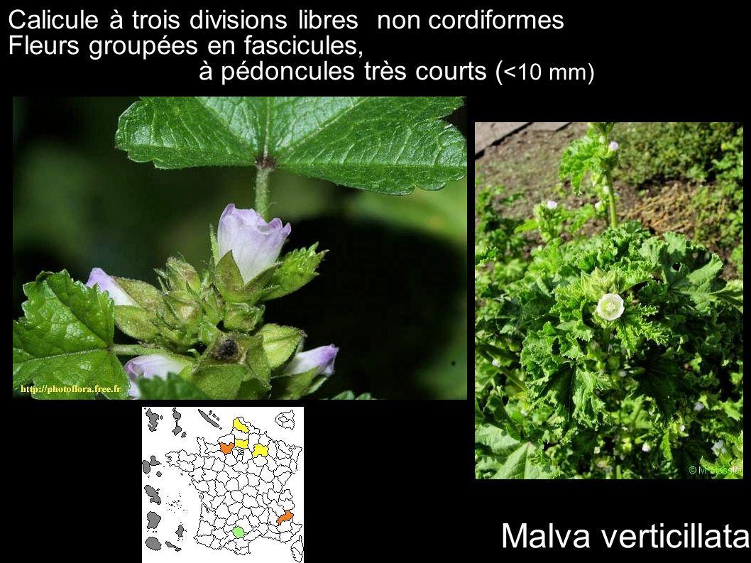 Malva verticillata Calicule à trois divisions libres non cordiformes