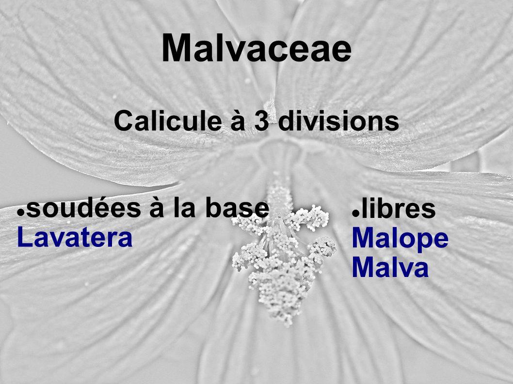 Malvaceae Calicule à 3 divisions soudées à la base libres Lavatera