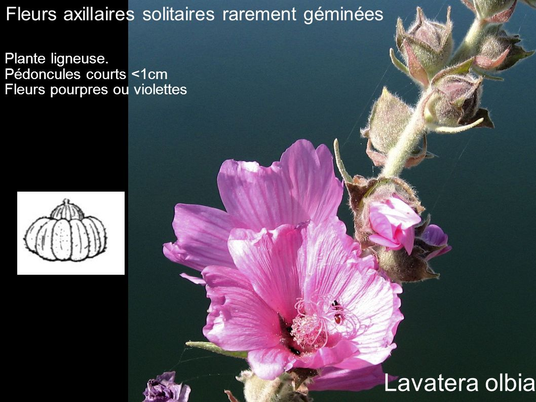 Lavatera olbia Fleurs axillaires solitaires rarement géminées