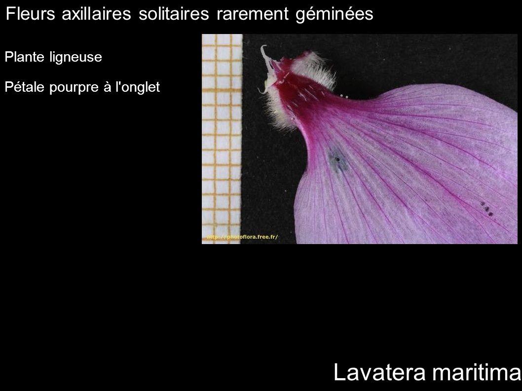 Lavatera maritima Fleurs axillaires solitaires rarement géminées