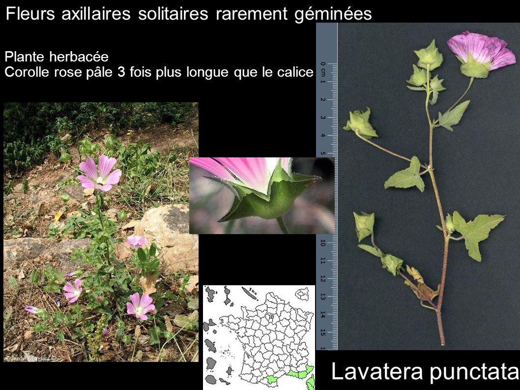 Lavatera punctata Fleurs axillaires solitaires rarement géminées