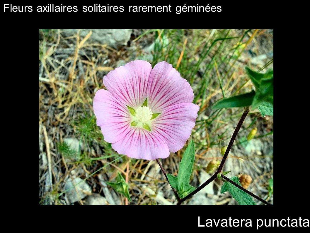 Fleurs axillaires solitaires rarement géminées