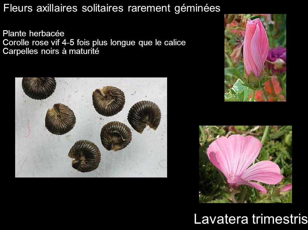 Lavatera trimestris Fleurs axillaires solitaires rarement géminées