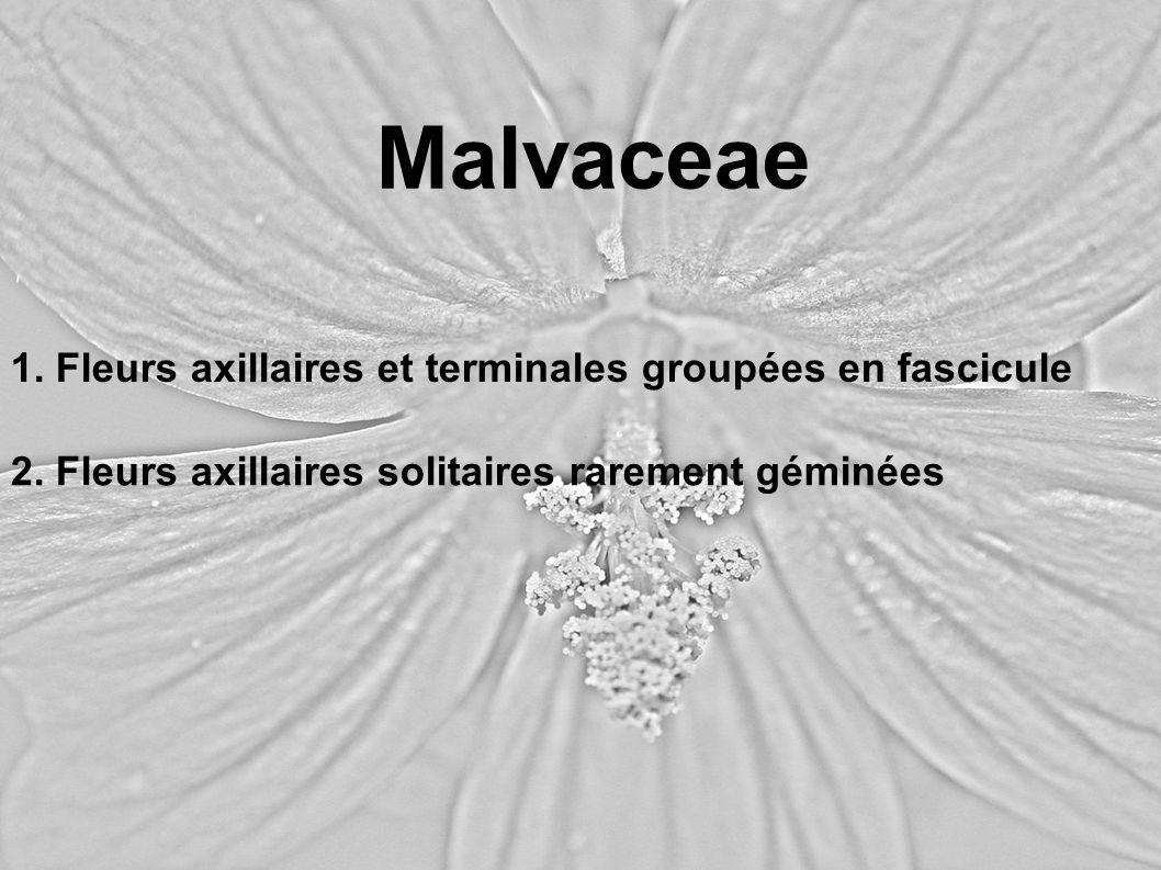 Malvaceae 1. Fleurs axillaires et terminales groupées en fascicule