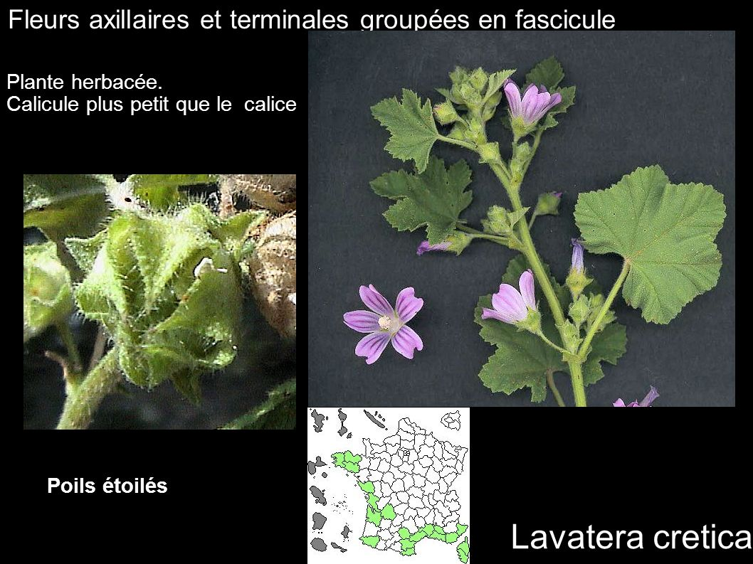 Lavatera cretica Fleurs axillaires et terminales groupées en fascicule