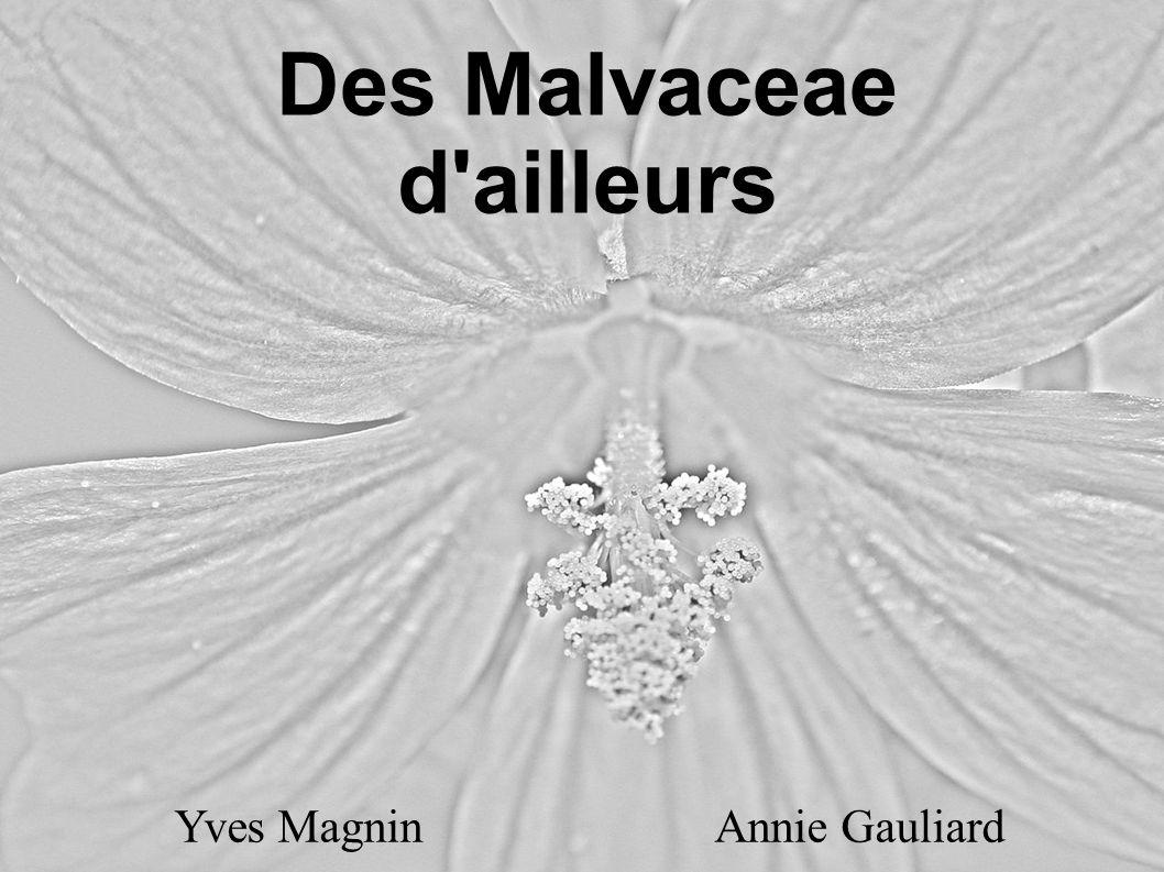 Des Malvaceae d ailleurs