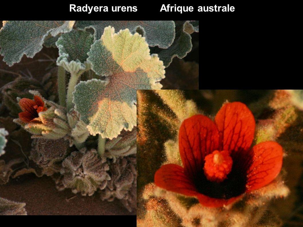 Radyera urens Afrique australe