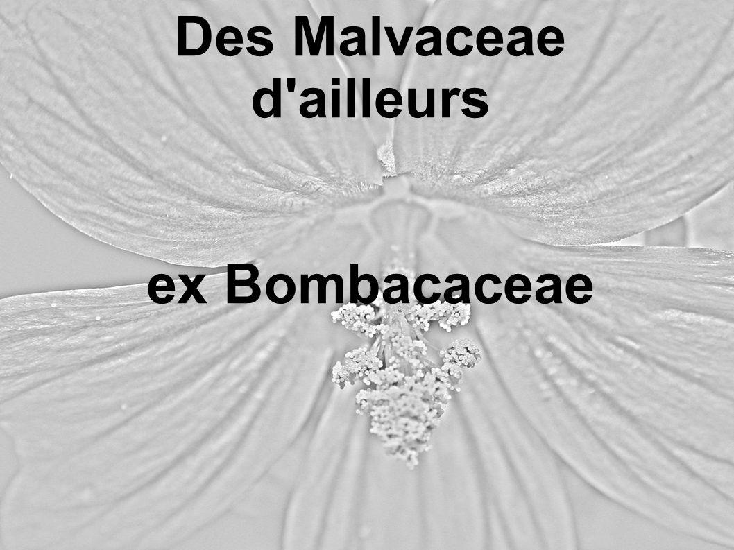 Des Malvaceae d ailleurs ex Bombacaceae
