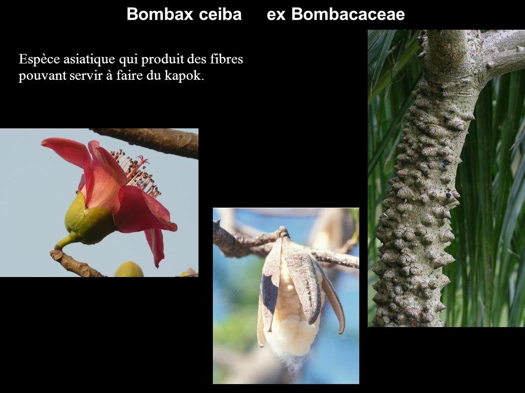 Bombax ceiba ex Bombacaceae