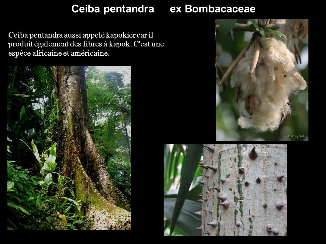 Ceiba pentandra ex Bombacaceae