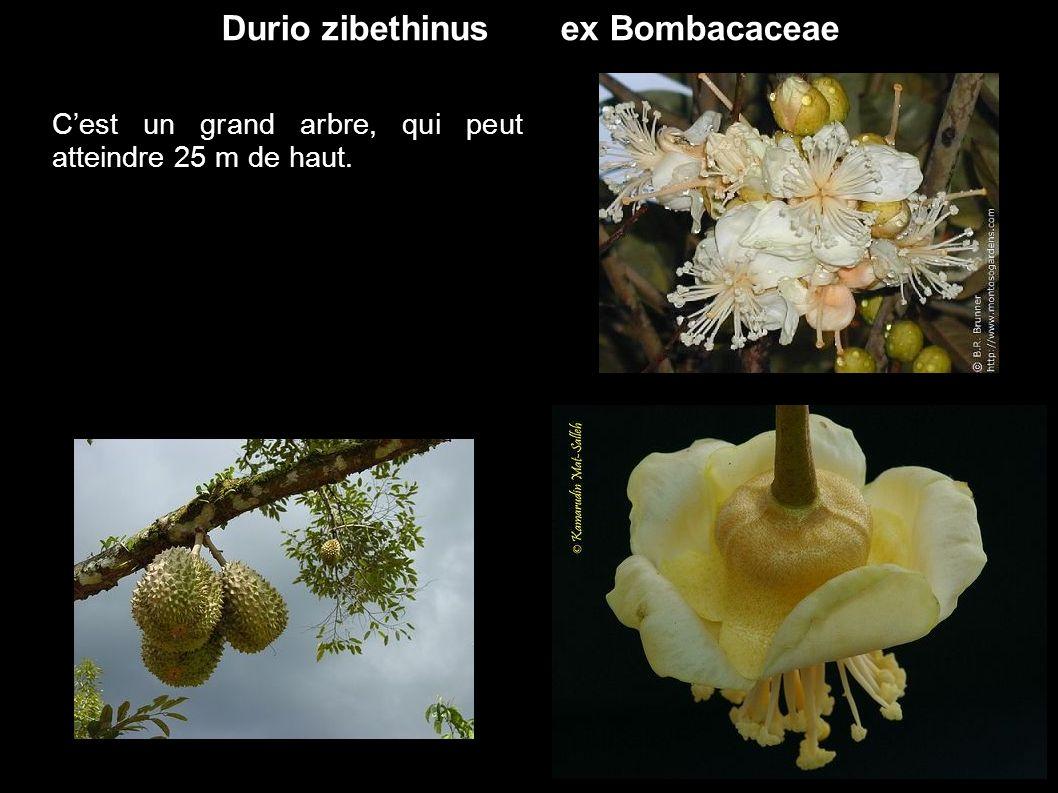 Durio zibethinus ex Bombacaceae