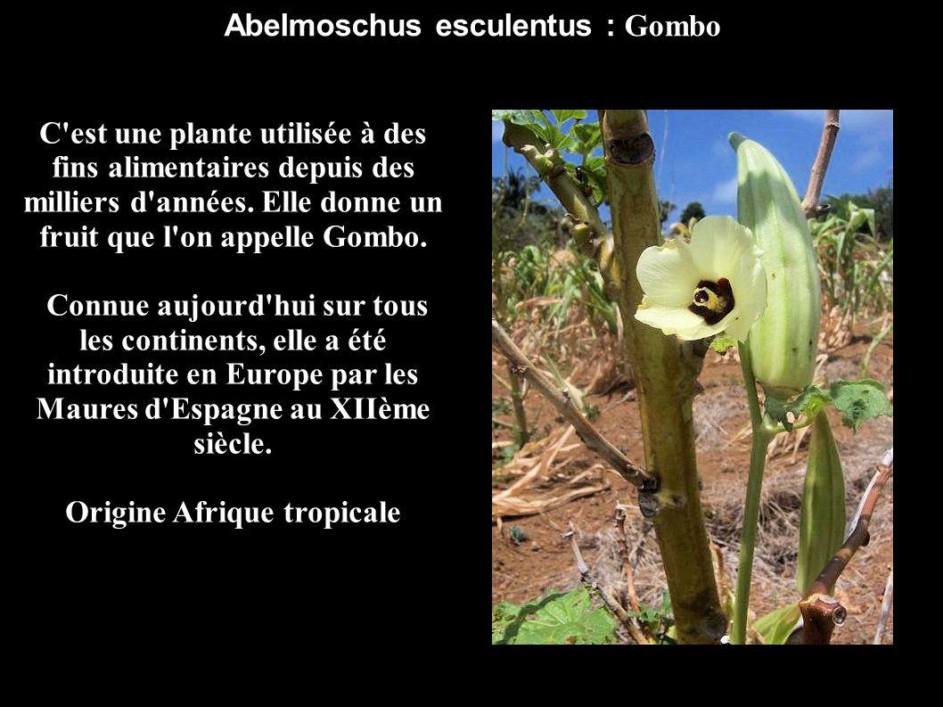 Abelmoschus esculentus : Gombo Origine Afrique tropicale