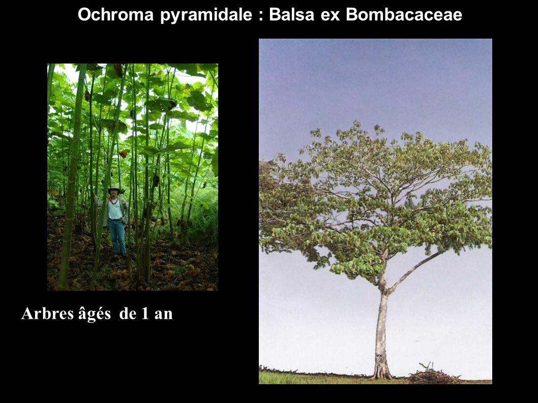 Ochroma pyramidale : Balsa ex Bombacaceae