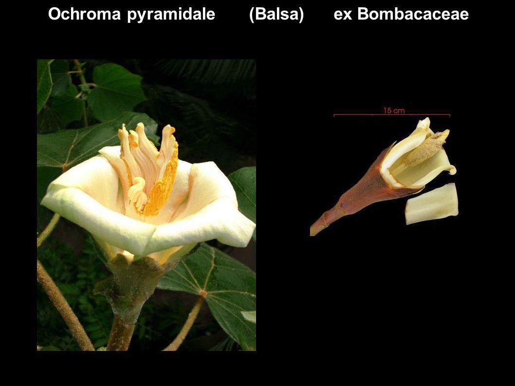 Ochroma pyramidale (Balsa) ex Bombacaceae