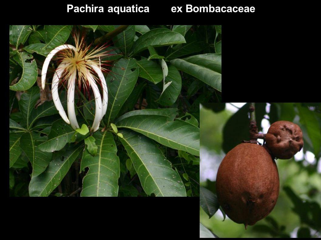 Pachira aquatica ex Bombacaceae