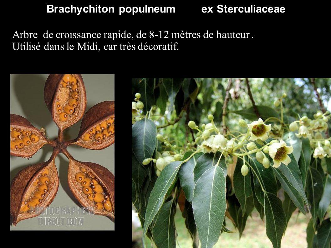 Brachychiton populneum ex Sterculiaceae