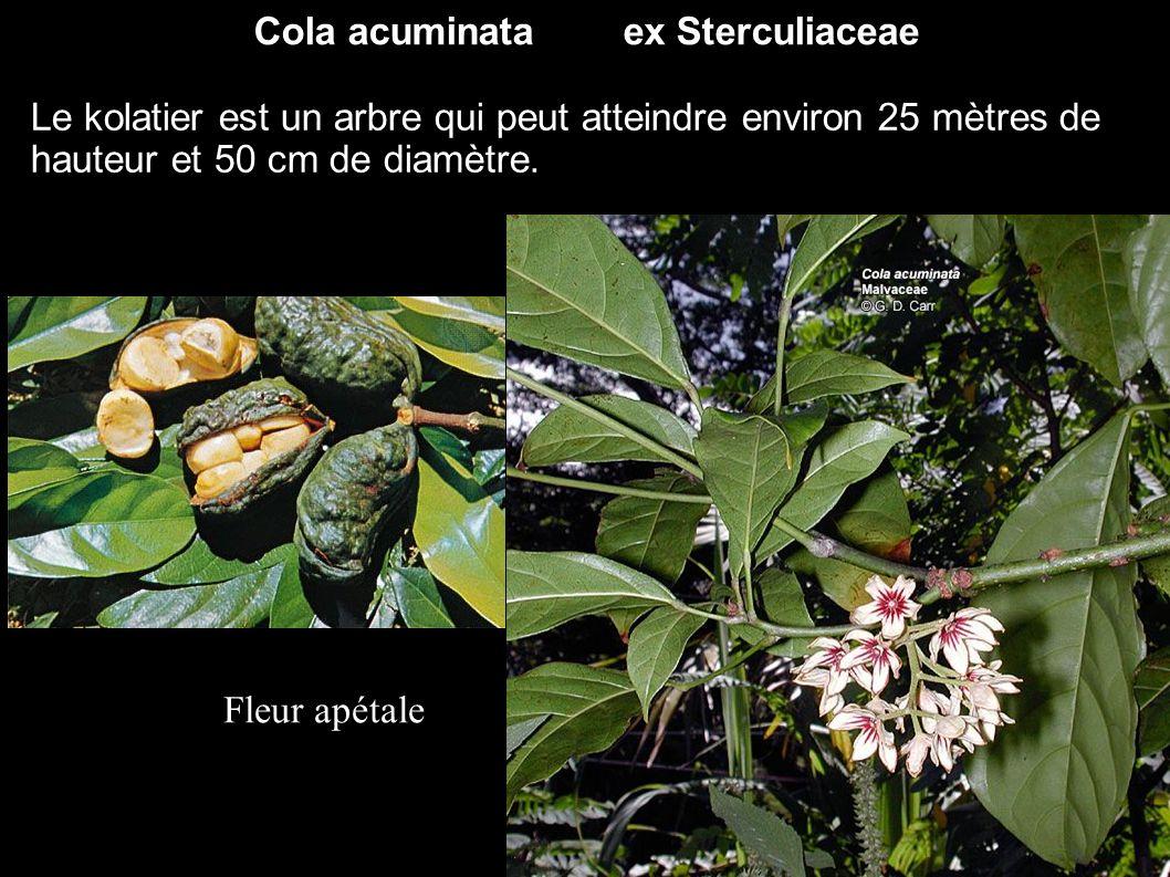 Cola acuminata ex Sterculiaceae