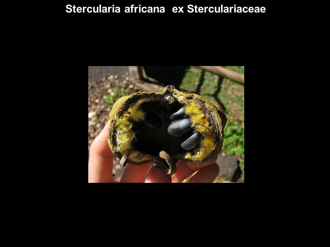 Stercularia africana ex Sterculariaceae