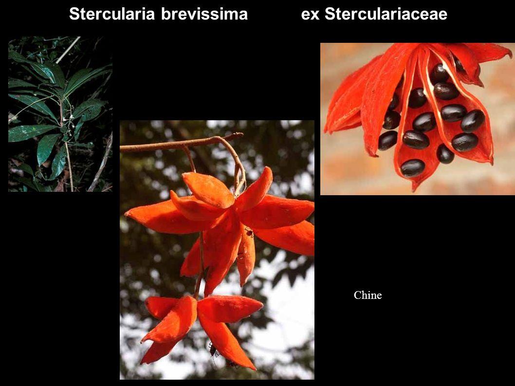 Stercularia brevissima ex Sterculariaceae