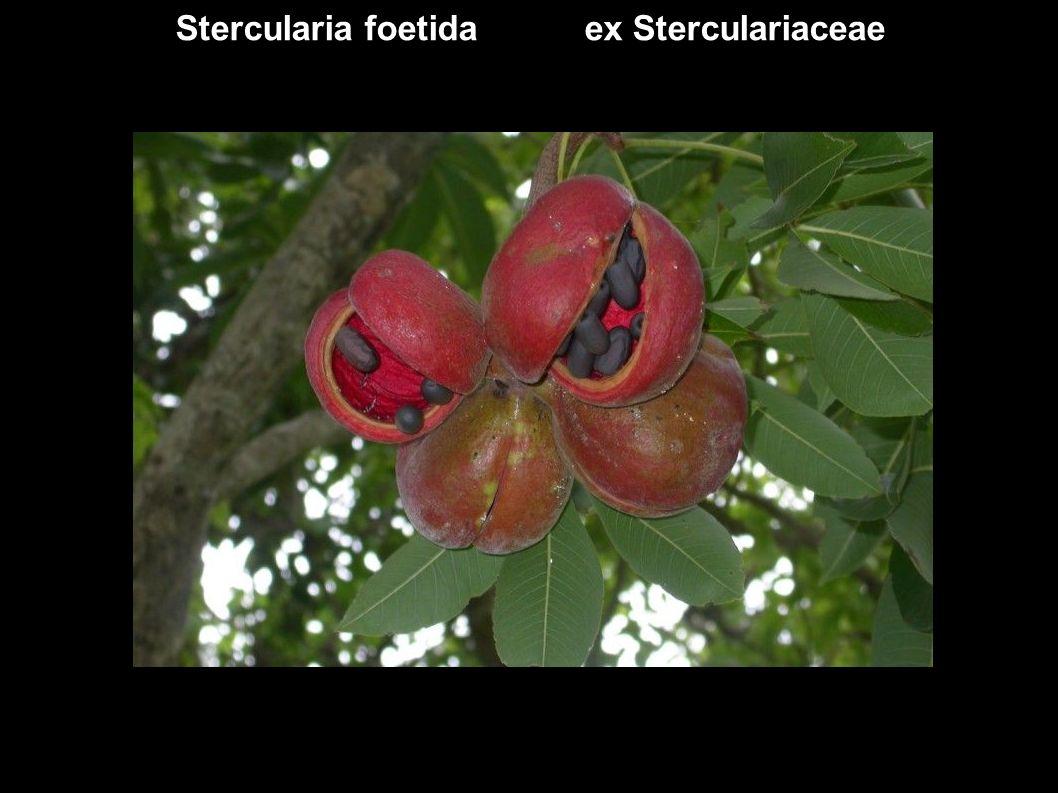 Stercularia foetida ex Sterculariaceae