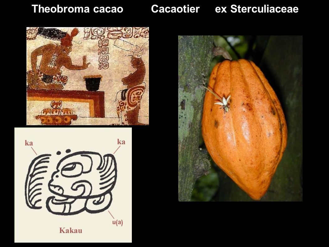Theobroma cacao Cacaotier ex Sterculiaceae