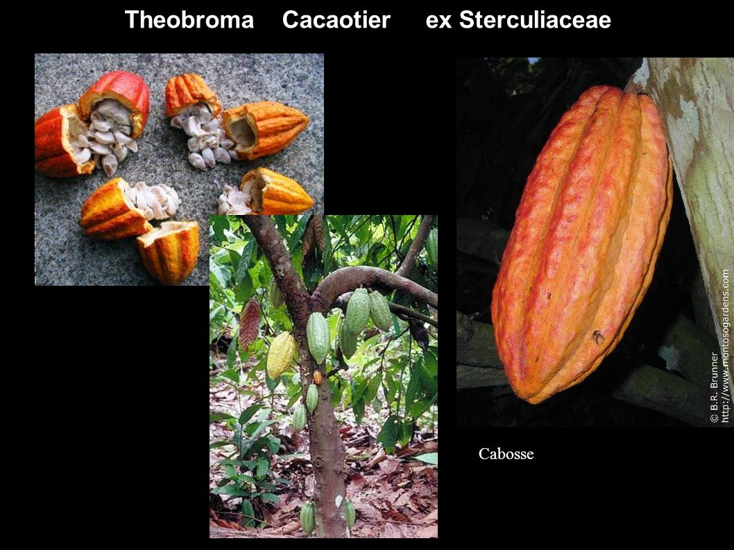 Theobroma Cacaotier ex Sterculiaceae